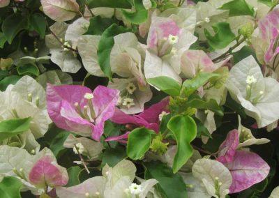 Bouganvilla cross-pollenation