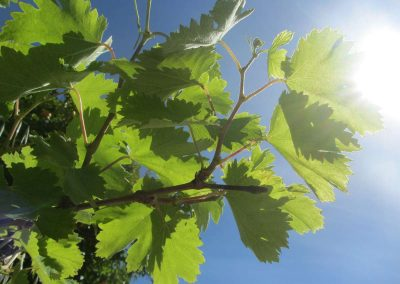Grapevine in sunshine
