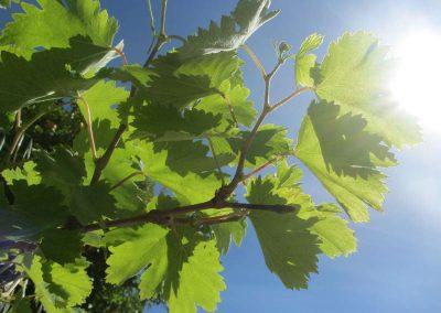Grapevine in sunshine