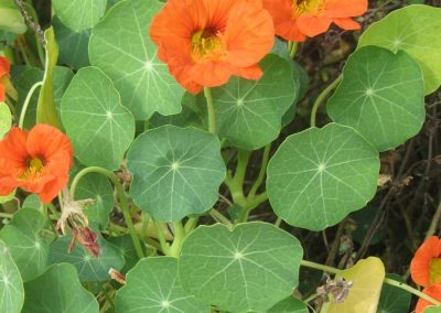 Nasturtium in orange
