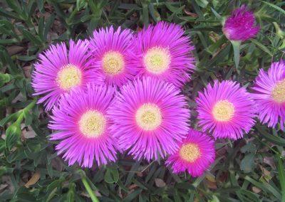 Pink Figus