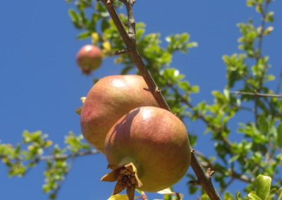 Pomegranate Fruit stem
