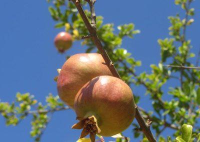 Pomegranate Fruit stem