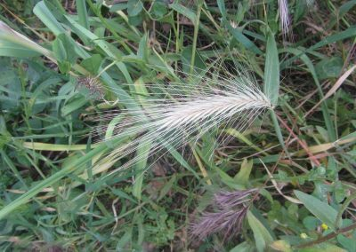 Wild Wheat Stem