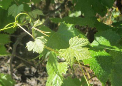 Young Grape Leaf